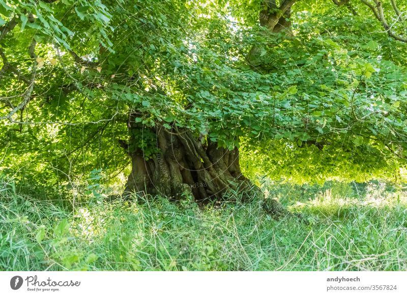 Tausendjährige Linde mit der Baumkrone voller grüner Blätter Vorbau 1000 alt langlebig Jahr Denkmal überdauern jährlich Jahre Ast Rinde Textfreiraum Ökologie