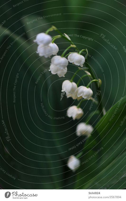 Maiglöckchen Convallaria majalis Halbschatten Schatten Frühling Frühlingsblüher Unterholz Blüte weiß Detail Closeup Blume zart geruch grün Frühlingsbote