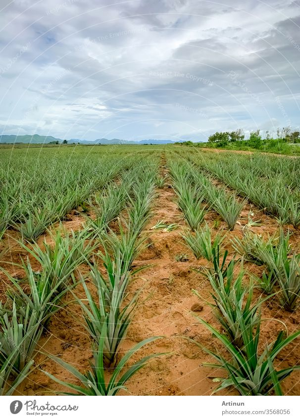 Ananasplantage. Landschaft Ananasfarm und Berg. Anbau von Plnat. Anbau von Ananas in Bio-Farm. Landwirtschaftliche Industrie. Grüner Ananasbaum im Feld und weißer Himmel und Wolken.