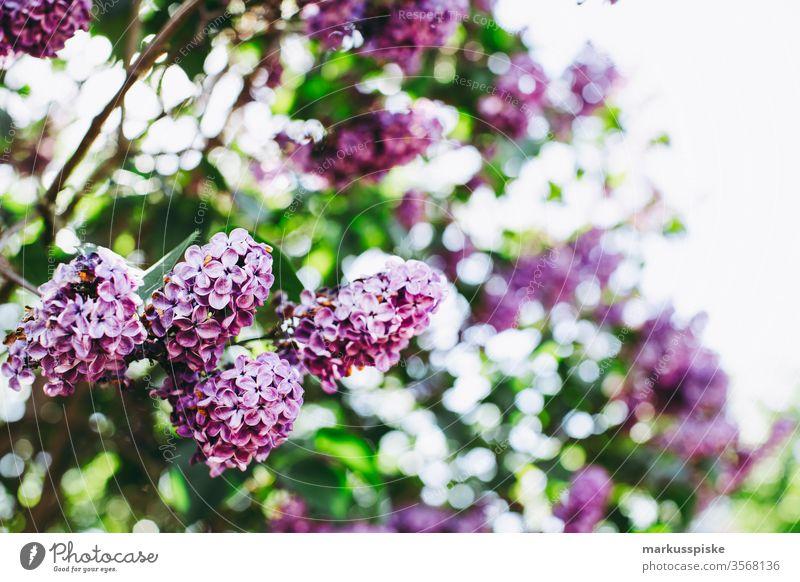 Frischer Fliederstrauch mit Bokeh Fliederbusch fliederblüte Sommer Duft lila