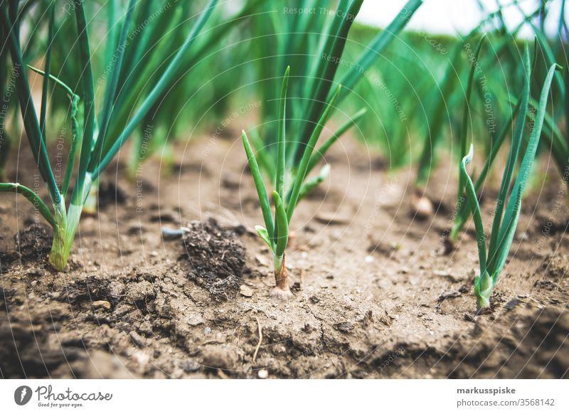 Bio Lauchzwiebeln Frühlingszwieben Garten Gemüse selbstversorgung Beet Lauchgemüse bio