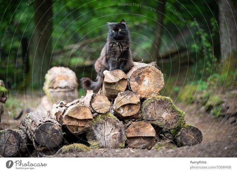 flauschige schwarze Langhaarkatze die auf einem Haufen von Baumstämmen im Wald sitzt Katze Haustiere Mischlingskatze im Freien Natur Langhaarige Katze