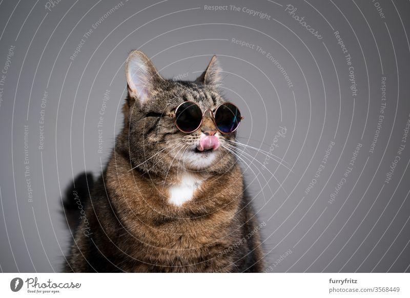 Studioporträt einer übergewichtigen Katze mit Sonnenbrille, die sich über die Lippen leckt Haustiere Tabby Kurzhaarkatze Studioaufnahme Textfreiraum katzenhaft