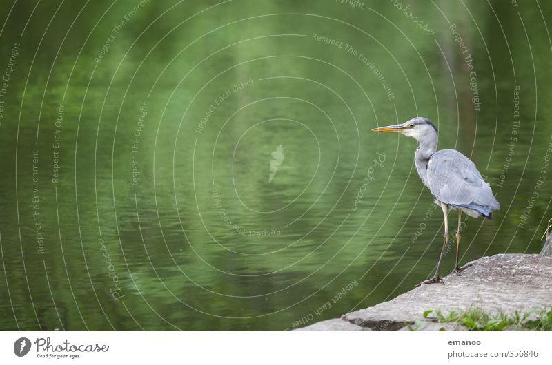 Wasservogel Natur Landschaft Tier Felsen Küste Seeufer Teich Fluss Vogel Flügel 1 fangen Blick stehen warten groß grau grün Ausdauer Reiher Graureiher Fressen