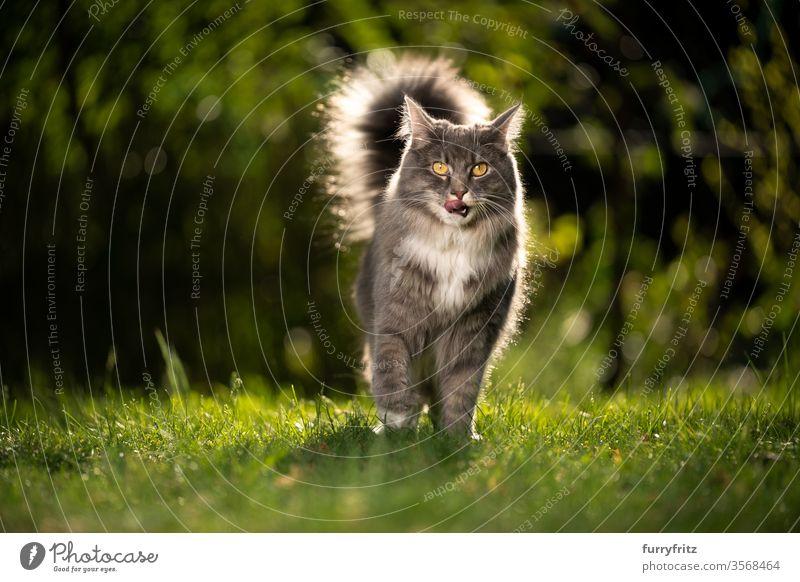 Maine Coon Katze mit flauschigem Schwanz im Sonnenlicht draußen auf dem Rasen Haustiere Rassekatze Langhaarige Katze maine coon katze weiß blau gestromt sonnig