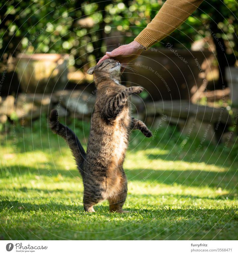 Tierbesitzer streichelt getigerte Katze draußen im Garten Haustiere Tabby Vorder- oder Hinterhof Gras Natur Pflanzen katzenhaft Fell Rasen grün sich aufbäumen