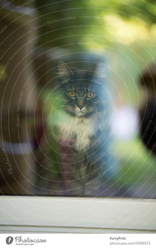 maine coon katze innen mit Blick aus dem Fenster Katze Haustiere Rassekatze Langhaarige Katze weiß blau gestromt aus dem Fenster schauen katzenhaft Fell fluffig