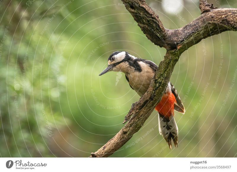 Buntspecht auf Ast Farbfoto Vogel Außenaufnahme Tier Natur Tierporträt Wildtier 1 Umwelt Menschenleer Wald Baum Tiergesicht Schwache Tiefenschärfe Park Garten