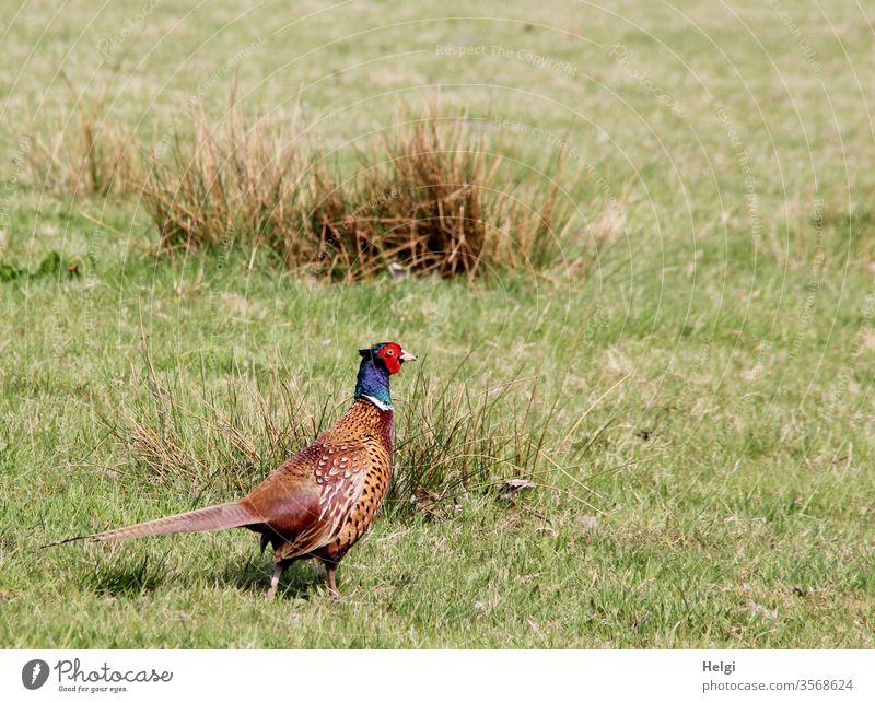 auf Brautschau - männlicher Fasan auf einer Moorwiese mit Gras und Binsen Vogel Tier Wildtier Gefieder Natur natürlich Außenaufnahme Tierwelt farbenfroh hübsch