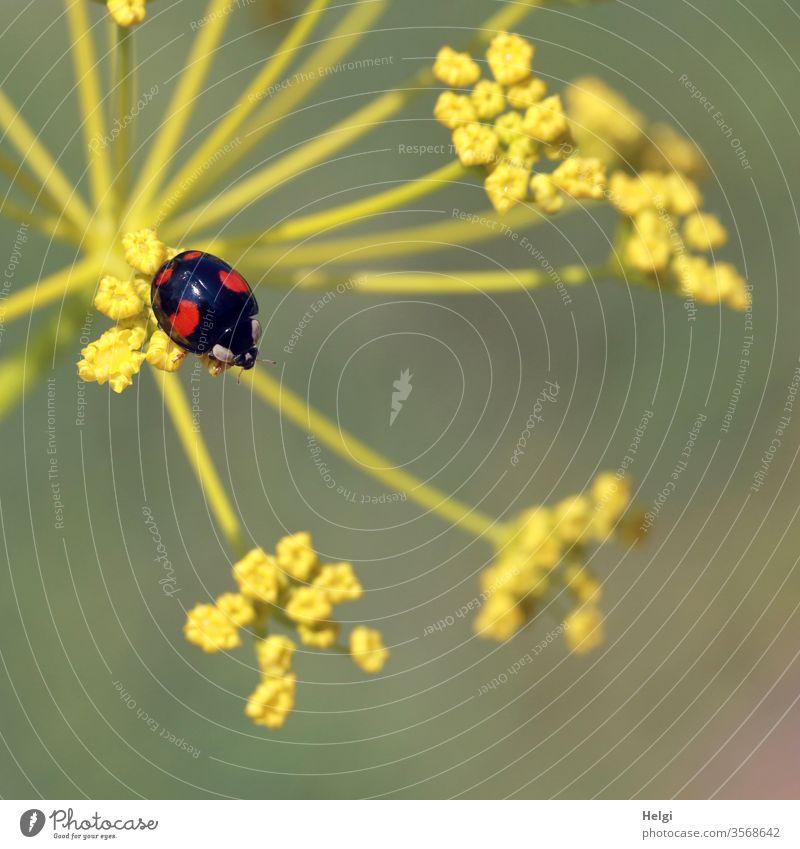 Asiatischer schwarz-roter Marienkäfer  sitzt auf einer Fenchelblüte asiatischer Marienkäfer klein Käfer Insekt Makroaufnahme Nahaufnahme Tier krabbeln
