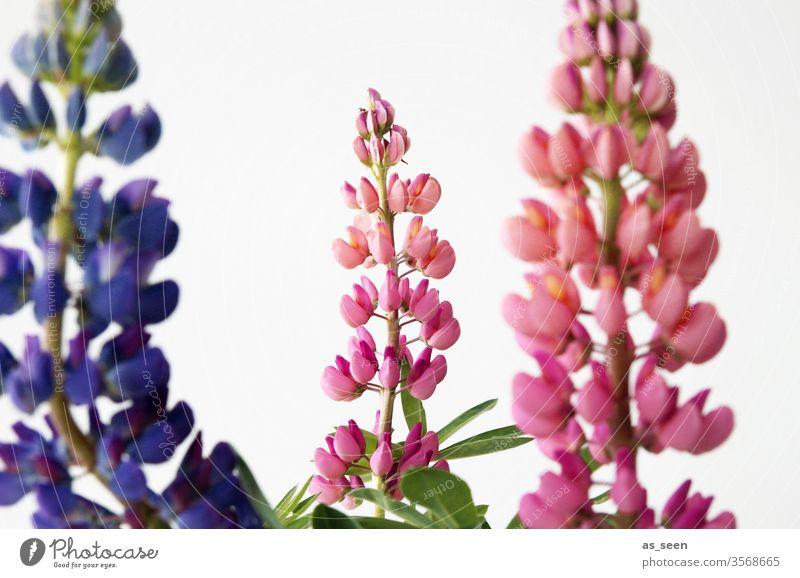 Lupinen Blüte Pflanze Blütenknospen Blütenpflanze Garten Sommer Frühling Lila pink grün Natur Blume Farbfoto Nahaufnahme Schwache Tiefenschärfe Detailaufnahme