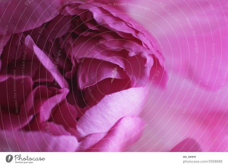 Pfingstrose pink blühend Blüte Blume Pflanze rosa Frühling Blühend Natur Farbfoto schön Nahaufnahme Menschenleer Sommer Detailaufnahme Blütenblatt