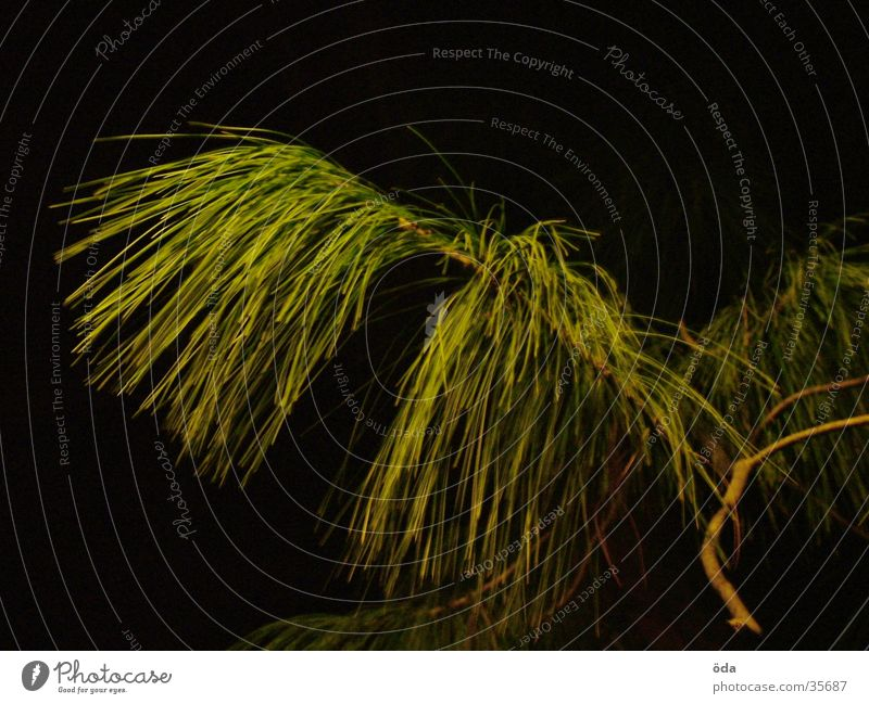 Nadeln Baum grün Wachstum Ast Zweig Nadelbaum Tannennadel
