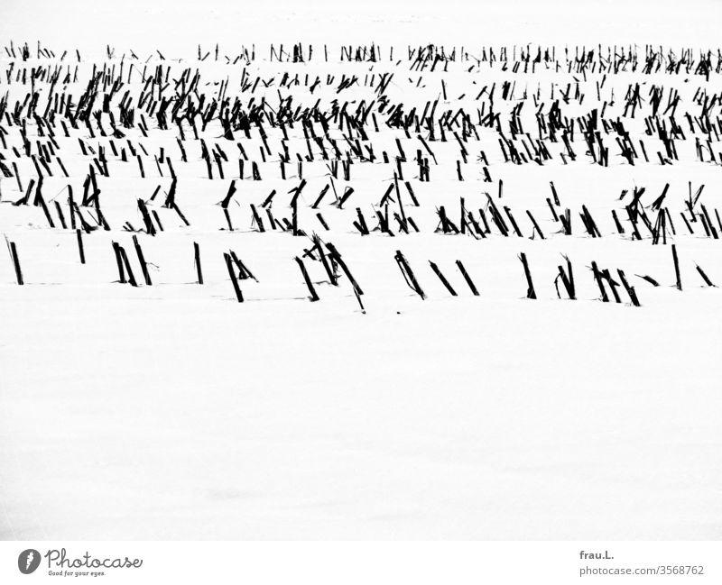 Wie der kleine einbeinige Zinnsoldat standen die Getreidestoppeln im Schnee. Winter Feld Ernte Stroh Reihen Landschaft Außenaufnahme