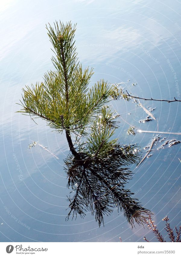 Wasserbaum Baum Nadelbaum See Teich sprießen Wachstum Trieb Tannennadel