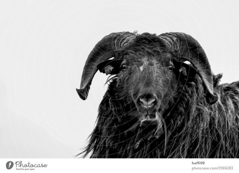 Porträt eines nordischen Kurzschwanzschafs Schaf Bock nordisches Kurzschwanzschaf Helgoland Tierporträt Haustier Nutztier schwarz Fell Wolle Wiese Blick 1