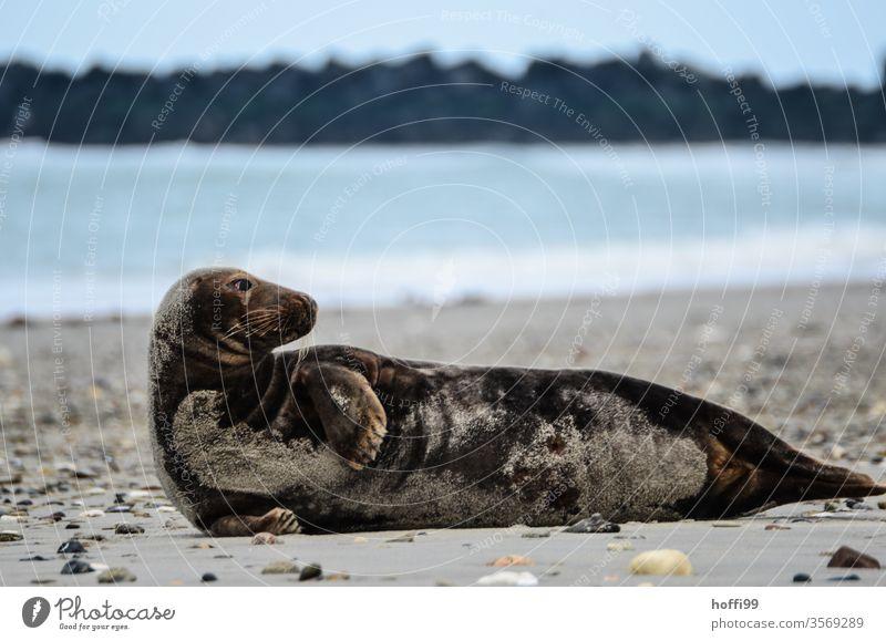 Kegelrobbe am Strand von Helgoland Robbe Wildtier Robben Nordsee Küste Tier 1 Insel Meer Wasser natürlich Umwelt Natur liegen