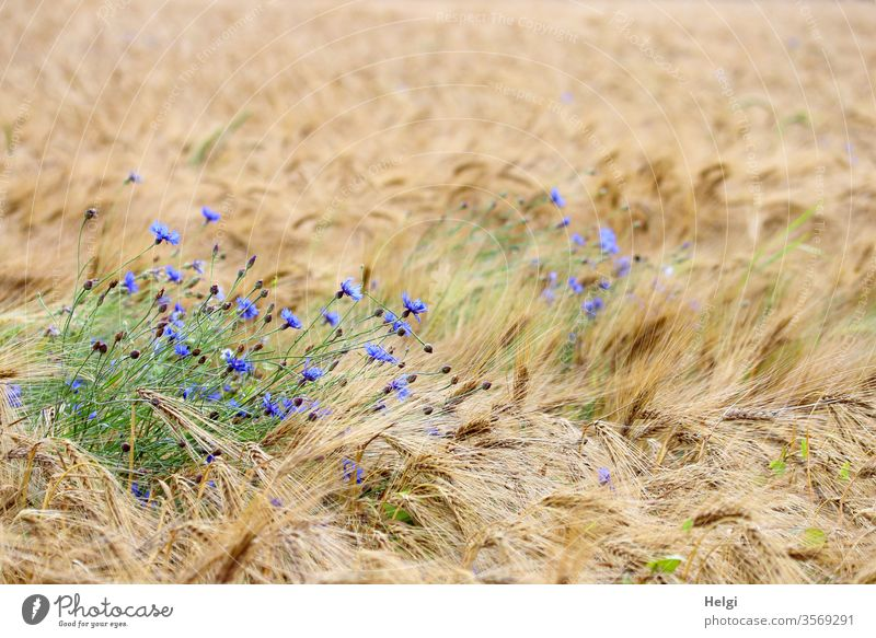 Kornblumen blühen in einem fast reifen Gerstenfeld Kornfeld Blume Blüte Pflanze Landwirtschaft Feld Getreide Getreidefeld Natur Menschenleer Ähren Gerstenähre