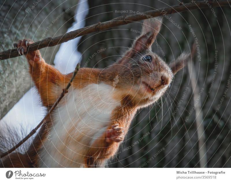 Neugieriges Eichhörnchen Sciurus vulgaris Tiergesicht Kopf Auge Maul Nase Ohr Fell Pfote Krallen Nagetiere beobachten Blick Natur Wildtier Baumstamm Wald