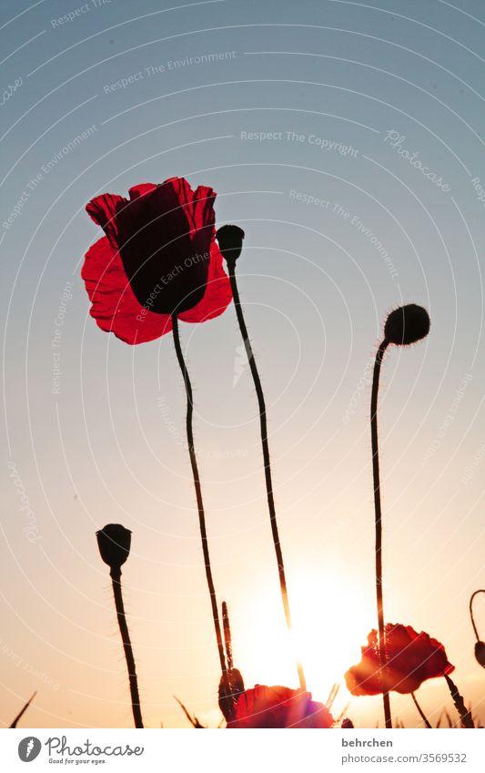 murmeltier Sonnenaufgang Blütenblatt Abenddämmerung Dämmerung Himmel Menschenleer Umwelt Wärme Wildpflanze Farbfoto Außenaufnahme Mohnfeld rot Pflanze Natur
