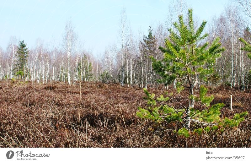 Moorbaum Baum klein Ödland Moor Sumpf Nadelbaum