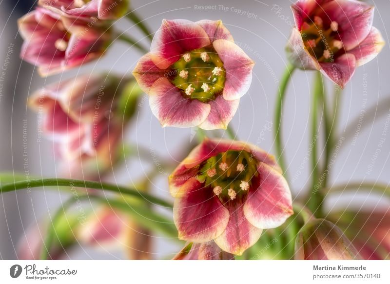Kalanchoe Blüte Dickblattgewächs Sukkulenten vor silbernem Hintergrund Makro Blatt blühen Blume Blumen Blütenblatt Botanik botanisch dekorativ Farbe flora