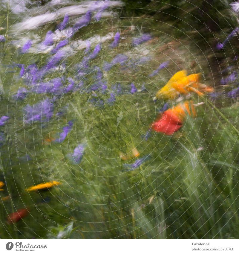 Die Wiesenblumen wiegen  sich im heftigen Wind  hin und her Flora Pfalanze Blume Blumenwiese Mohn Leinen Margarete Blüte duften blühen Garten Sommer windig Gras