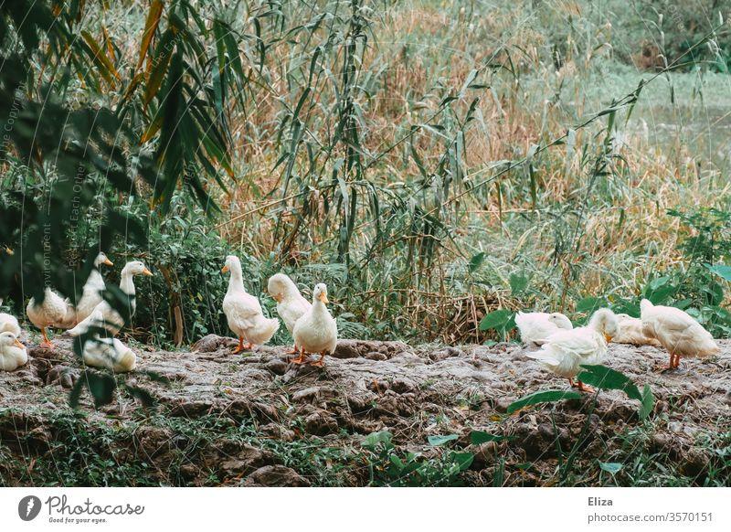 Eine Gruppe Gänse draußen in der Natur Tier Vogel Wildtier Feder Gans frei Schilf Wildgans