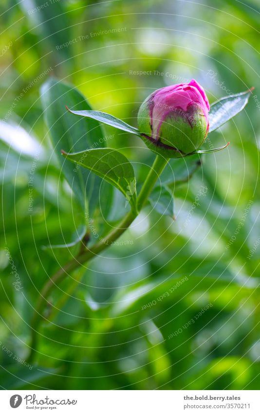 Knospe einer Pfingstrose pink/rosa Pfingsrose Blüte Blühend grün Blätter Blume Pflanze Natur Farbfoto Frühling Sommer Tag Nahaufnahme Schwache Tiefenschärfe
