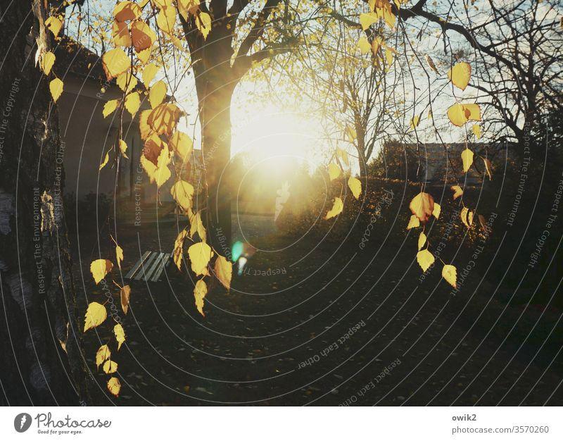Traurige Birken Friedhof Baum Blätter hängen Herbst Laubfärbung Sonne leuchtend strahlend Sonnenlicht Sonnenuntergang Abend Zweige Kontrast dunkel Natur