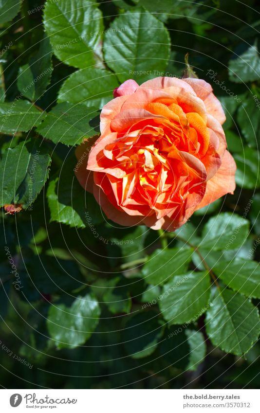 Rose orange Blüte blühend grün Blätter Rosenstrauch Pflanze Blume Natur Farbfoto Außenaufnahme Schwache Tiefenschärfe Menschenleer Tag Sommer schön Duft Garten