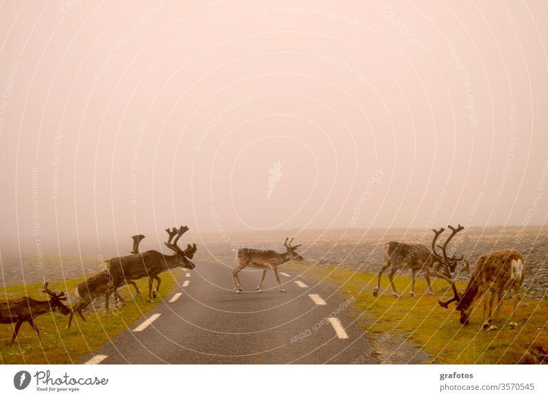 Reindeer-Walk über die Strasse in Skandinavien Ferien & Urlaub & Reisen Tier Rentier Außenaufnahme Menschenleer Tag Tierporträt Lifestyle Abenteuer Ausflug