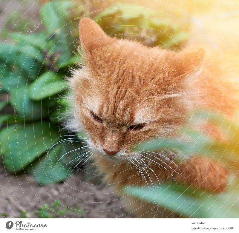 erwachsene rote Katze auf der Straße sitzend, Kopf nach unten bezaubernd Tier schön groß züchten braun Nahaufnahme neugierig niedlich heimisch Gesicht