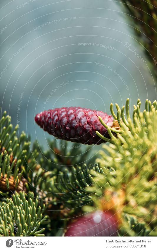 Junger roter Tannenzapfen Natur Farbfoto Zapfen Außenaufnahme Wald Menschenleer Pflanze klein Nadelbaum