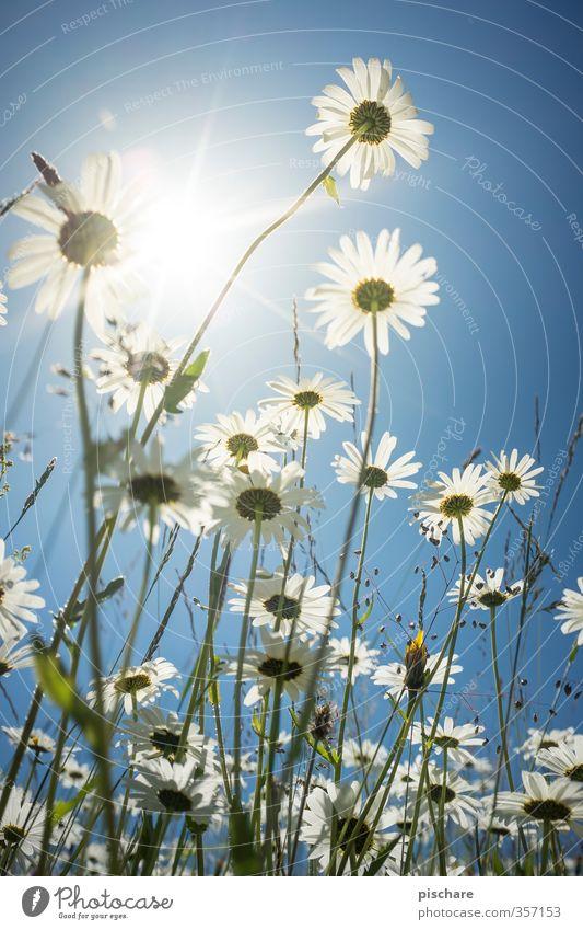 Blümchen Natur Pflanze Himmel Sonne Sommer Schönes Wetter Blume Wiese blau Margerite Farbfoto Außenaufnahme Nahaufnahme Makroaufnahme Tag Licht Sonnenlicht