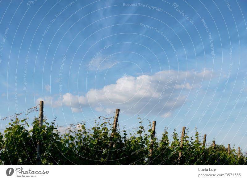 Weinberge unter blauem Himmel und Quellwolken Reben Frühling Wolken weiß schräg grün Natur Landschaft Pflanze Menschenleer Wachstum Außenaufnahme Farbfoto