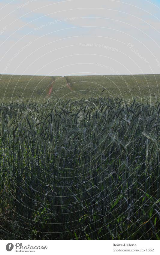 Getreidefeld mit Reifenspuren vor wolkigem Himmel: der etwas andere Feldweg Weizen Landwirtschaft Ähren Sommer Korn Weizenfeld Wachstum Weg trüb Wetter Kornfeld