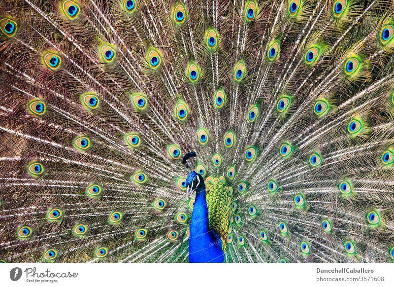 Haute couture | Federkleid Pfau Vogel Pfauenfeder Stolz Tier ästhetisch Brunft Tierporträt schön blau Pfauenauge mehrfarbig Schnabel Kopf eitel Zoo Tiergesicht