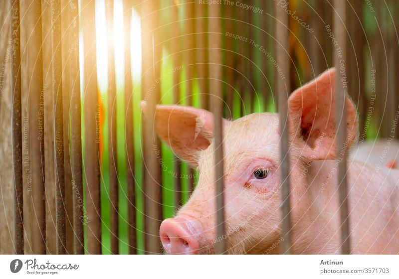 Kleines Schwein auf dem Bauernhof. Kleines rosa Ferkel. Afrikanische Schweinepest und Schweinegrippe Konzept. Viehzucht. Schweinefleisch-Industrie. Gesundes und süßes Schwein in Stall oder Scheune. Säugetier. Schweinezucht.