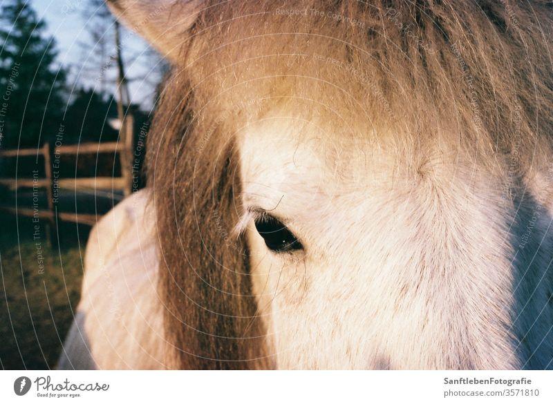 Weißes Pferd Tier Auge weiß Farbfoto Tierporträt Natur Blick in die Kamera Tiergesicht