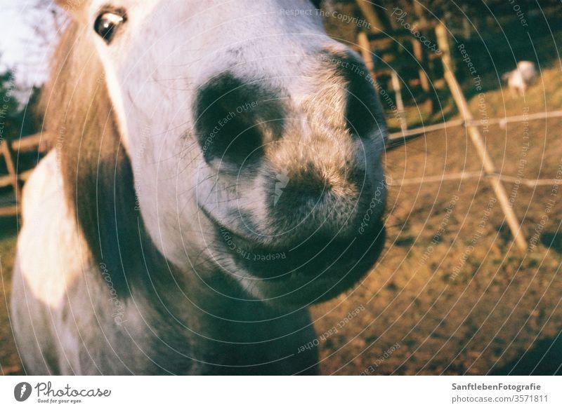 Pferdeschnauze Pferdekopf Tierporträt Natur Nutztier Außenaufnahme Island Ponys Farbfoto