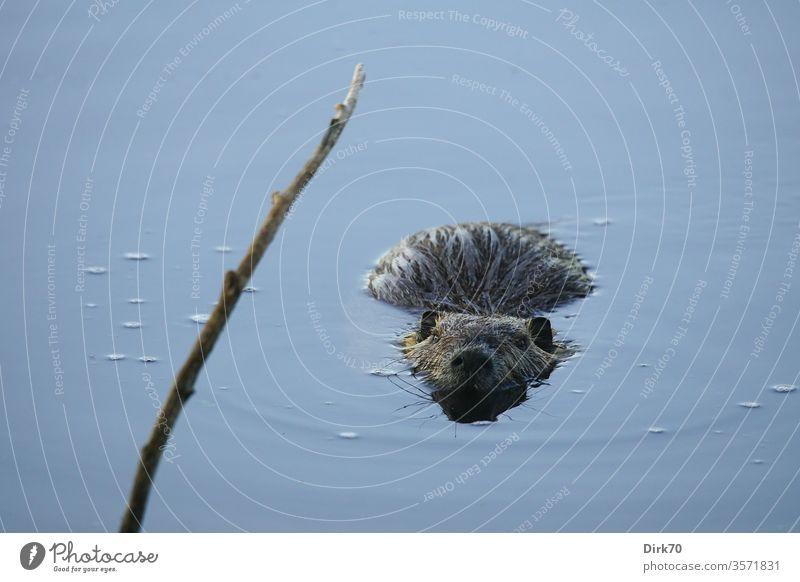 Nutria mit Tiefgang Nagetier Nagetiere Wasserratte Ratte Teich See Ast Zweig lauernd schauen beobachten schwimmen Wassertier Säugetier Säugetiere Umwelt