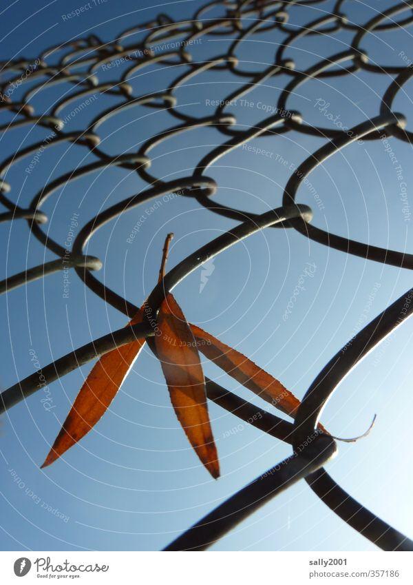 Herbstzaungast... Pflanze Wolkenloser Himmel Sonne Schönes Wetter Blatt Zaun Maschendrahtzaun alt festhalten hängen natürlich trocken blau braun Endzeitstimmung