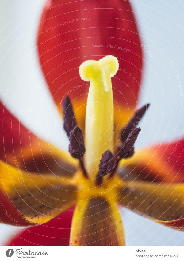 Tulpe Detail Tulpenblüte Detailaufnahme Makroaufnahme Blume Farbfoto schön rot Blütenblatt Natur Frühling Pflanze Nahaufnahme natürlich Frühlingsgefühle