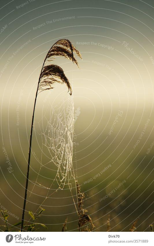 Schilfhalm mit taufeuchtem Spinnennetz Netz Tau nass Feuchtgebiete zart filigran Schilfrohr schilfhalm Gras Wiese Weide Grasland Sumpf Moor Teich Morgen