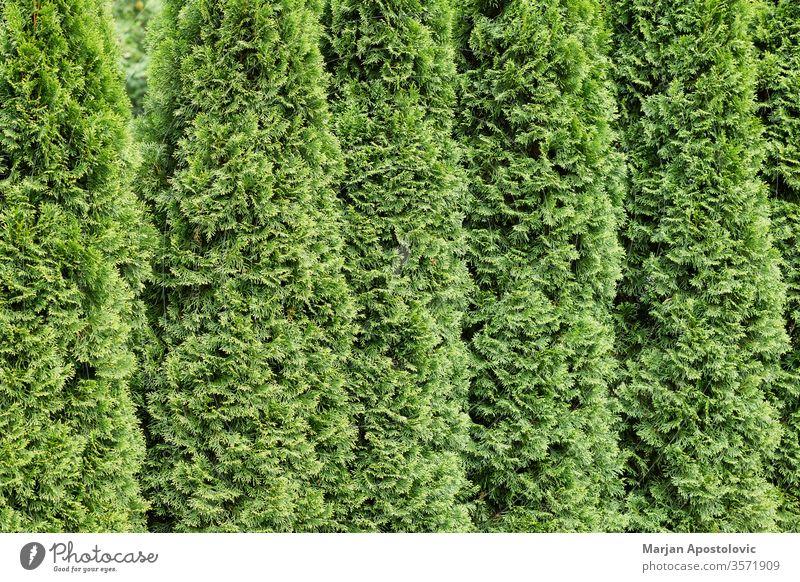 Wunderschöne grüne Zypressen in einer Reihe abstrakt Hintergrund Hintergründe Hinterhof botanisch Botanik Ast Buchse Nahaufnahme Dekoration & Verzierung