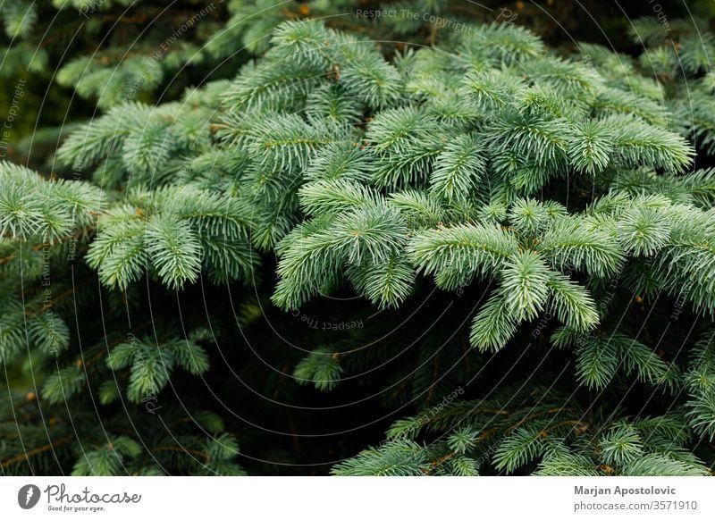 Nahaufnahme einer schönen, üppigen Tanne abstrakt Hintergrund Hintergründe botanisch Ast Weihnachten Konzept Zapfen copyspace Dekoration & Verzierung Design