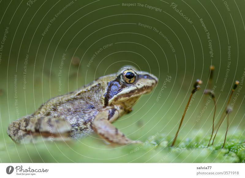 Froschperspektive | wörtlich genommen Natur Moos grün Makroaufnahme Froschauge Tier Textfreiraum oben Amphibie 1 Farbfoto Schwache Tiefenschärfe beobachten