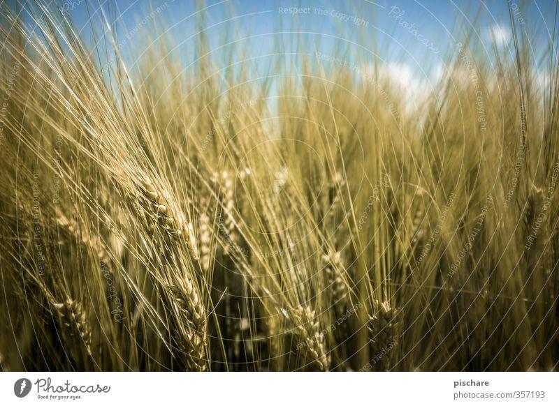 Korn gelb Gesundheit Feld Getreide Bioprodukte Diät Nutzpflanze