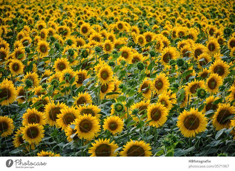 Sonnenblumenfeld sonnenblumenblüte Sommer Sonnenkraft Blüte gelb Pflanze Nutzpflanze Blühend Feld Landschaft Farbfoto Menschenleer Sonnenlicht Außenaufnahme